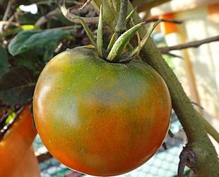 杠六九西红柿