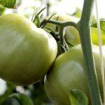 青岛夏庄杠六九(-69)西红柿的食疗作用