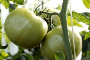 如何让杠六九西红柿保持高产