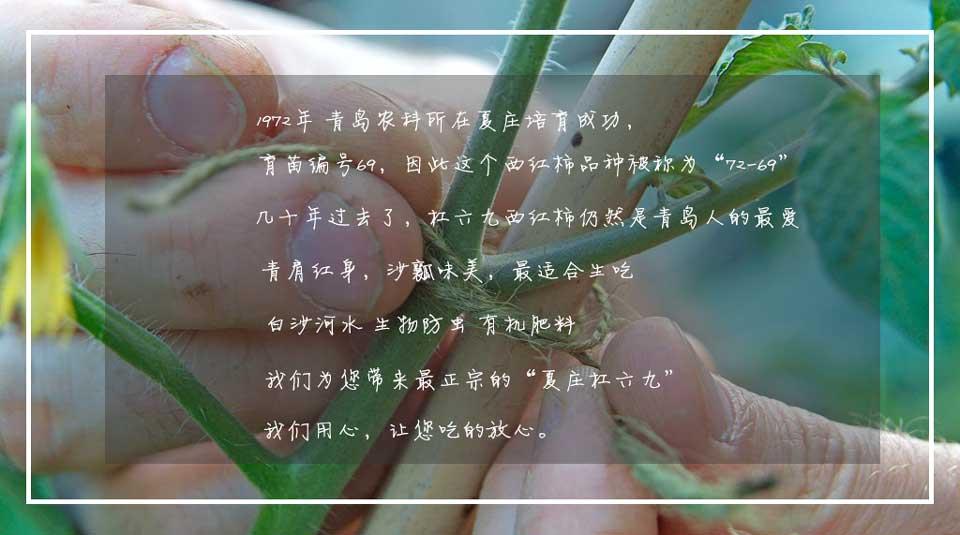 青岛夏庄杠六九西红柿