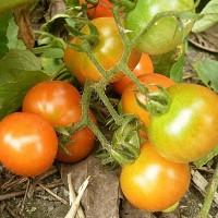 氮肥对于杠六九西红柿的影响